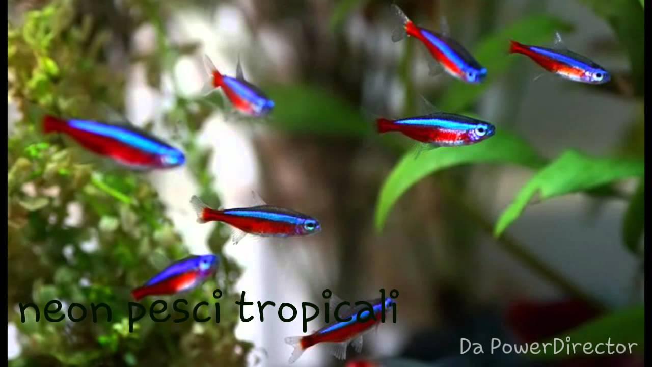 Neon pesci dei tropici youtube for Neon pesci prezzo
