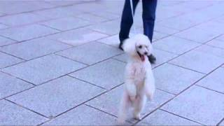 Poodle Walking Upright On Two Legs In Japan