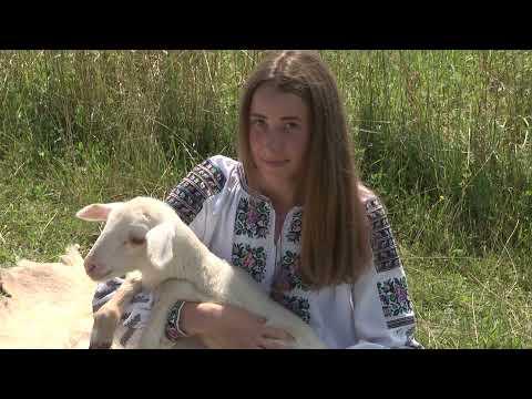Актуальний репортаж. Карпатські вівці Василя Стефурака