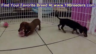 Miniature Dachshund, Puppies, For, Sale, In, Salt Lake City, Utah, Ut, Tooele, Kearns, Cottonwood He