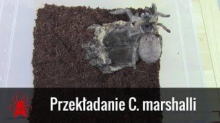 Przekładanie dorosłej samicy C. marshalli