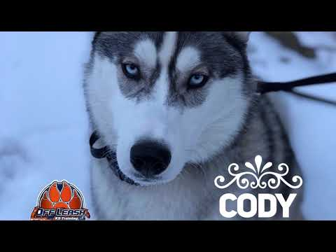 allentown-dog-trainers:-off-leash-k9-training-|||-8-month-old-siberian-husky,-cody