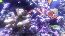 Clown Fish With black spots
