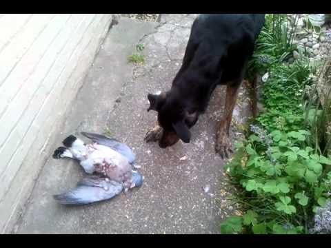 Funny Doberman cross scared of a dead bird! - YouTube