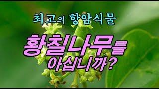 항암의 특효~ 황칠나무를 아시나요~? 차가버섯보다 항암…
