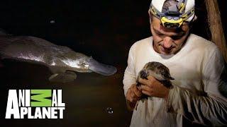 conoce-al-increble-ornitorrinco-wild-frank-tras-la-evolucin-de-las-especies-animal-planet