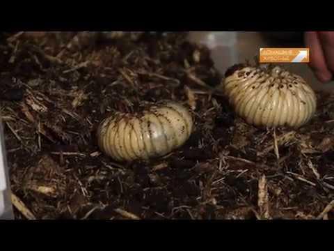 Телеканал Домашние Животные  - Террариум (Домашние жуки.Жук-Голиаф)