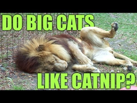 Do BIG Cats Like Catnip? *PART 2 - The 'Science'...