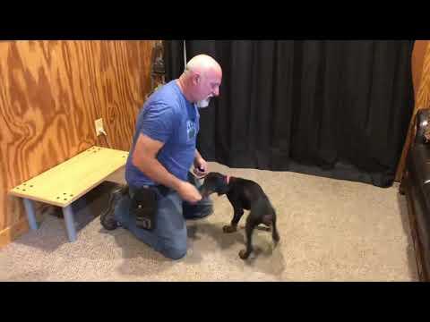 Windy von Prufenpuden 10 Wks Early Obedience Training Doberman Puppy BAB Participant