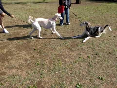 保護犬サルーキのサラ サルーキのお友達と