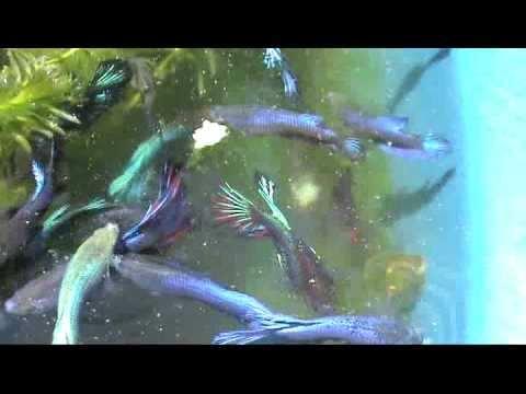 Cria o de bettas em sistema natural 2 youtube for Betta fish natural environment
