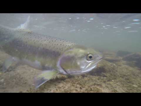 Credit River Fishing, Fall 2016 - Pink Salmon