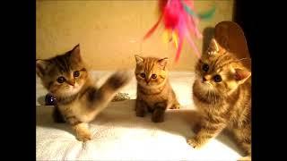 Шоколадные мраморные британские котята! Чудо детки из элитного питомника!