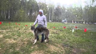 Ринг борзых. 44-ая Новосибирская областная выставка собак охотничьих пород