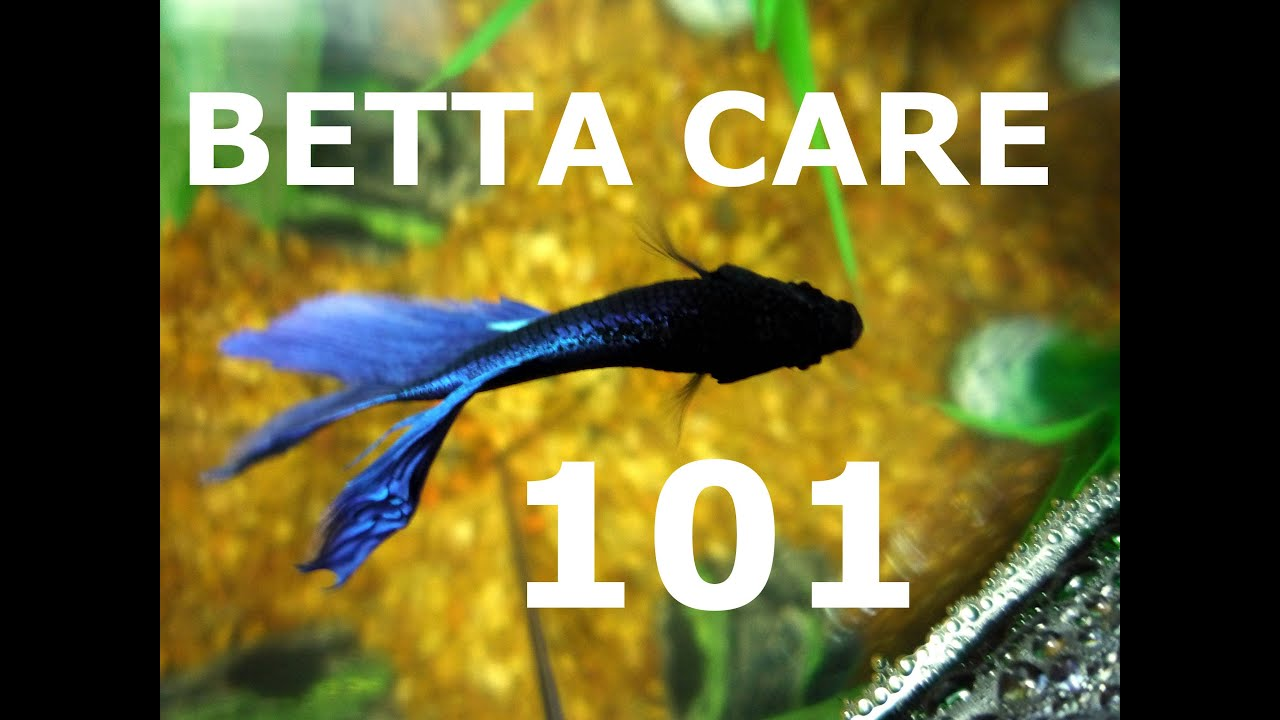 How to care for a betta fish youtube for How to care for a betta fish