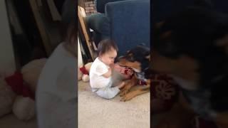 1歳1ヶ月の娘と 4歳の犬デューク(オーストラリアン キャトルドッグ)の仲...