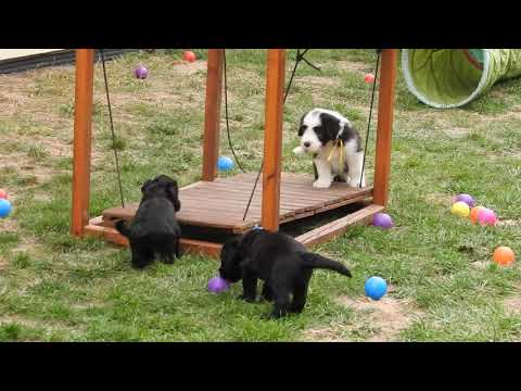 Briard puppies 4 weeks old and bearded collie puppies 6 weeks old from Buhlbino (fci) kennel