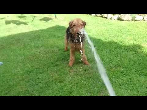 Olive the Welsh Terrier playing with a hose