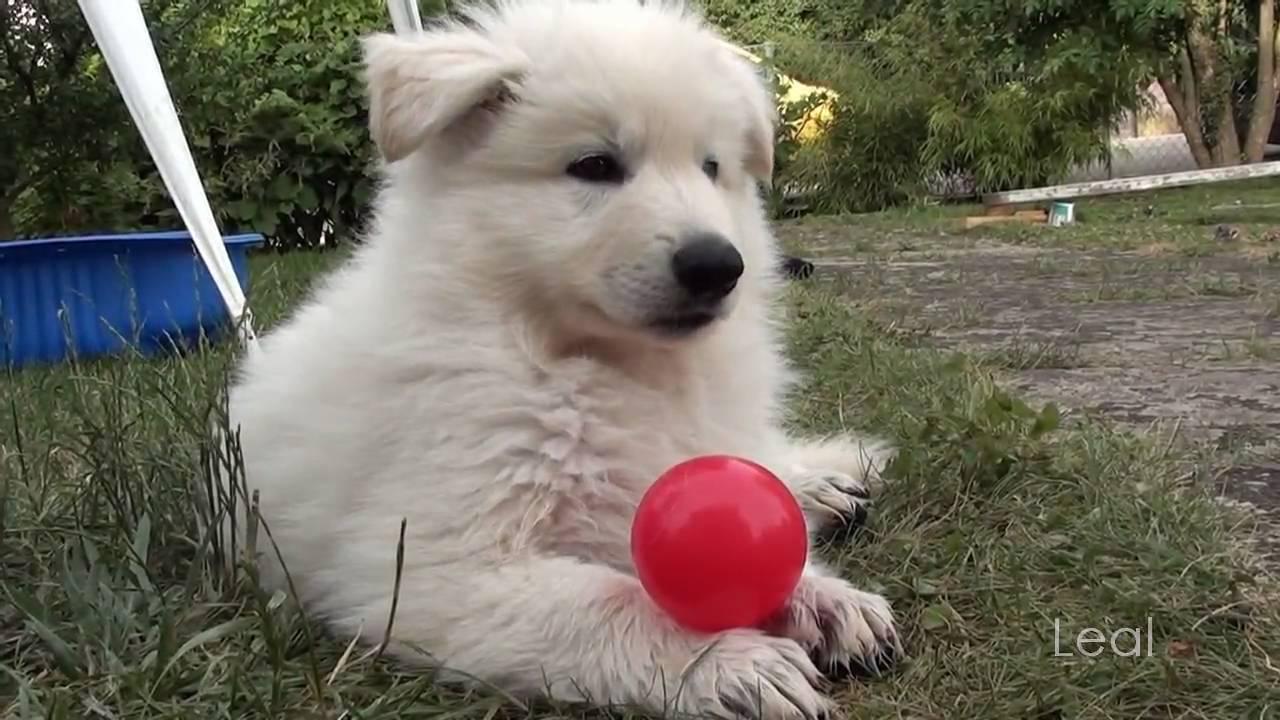 Kiani L Wurf 8 Wochen Weisser Schweizer Schaferhund Youtube
