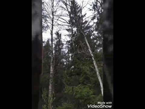 Сиреноголовый в нашем лесу!😰😰😖