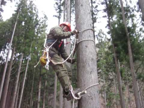 Japanese traditional tree climbing - YouTube
