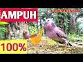 Suara Burung Tekukur Ampuh Untuk Pikat Dan Masteran  Mp3 - Mp4 Download