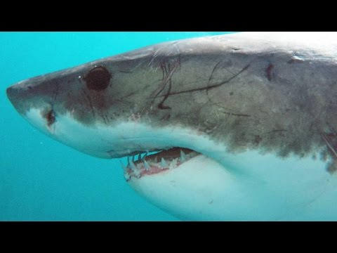 A Great White Can Go Through 20,000 Teeth In Its Lifetime