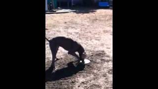 フリスビー【取れない】犬! ほじくりほじくりィー( ̄ー ̄)