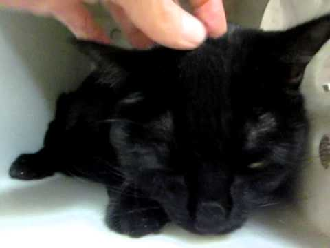 JINXERS, huge shiny black POLYDACTYL cat with 7 toes, needs a home! Purr monster!