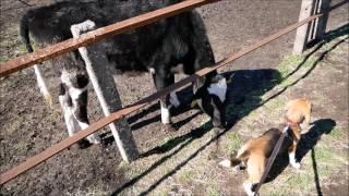 マザー牧場にて 大分牛さんには慣れたようです 牛さんの方かなり犬慣れ...