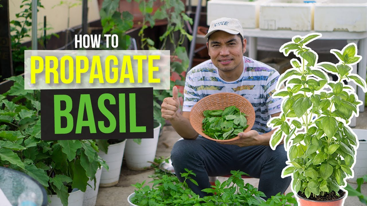 HOW TO GROW BASIL PLANTS IN 2 WAYS!