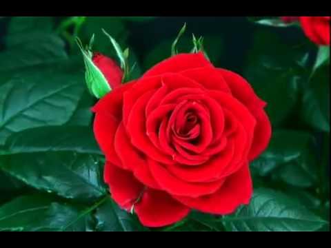 Kırmızı Güllerin Çiçek Açma Anı
