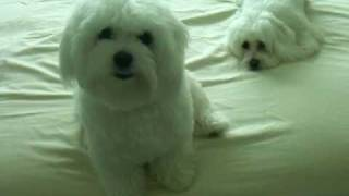 Maltese Puppies Being Funny..