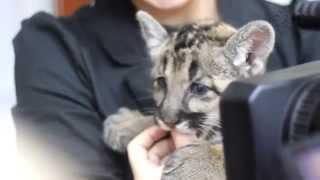 Пума, котенок, 2 месяца, г. Самара