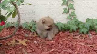Померанский шпиц. Породы собак. Dog breeds, funny, funny cats and dogs