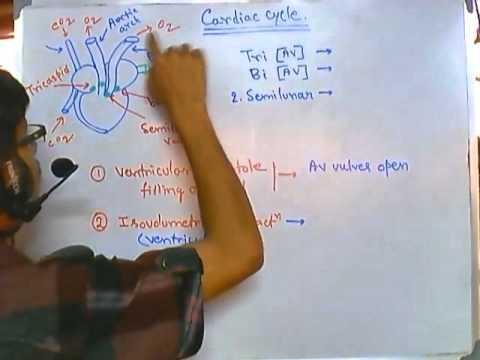 Cardiac Cycle Human Physiology Cardiac System