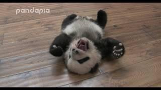 rolling panda cub