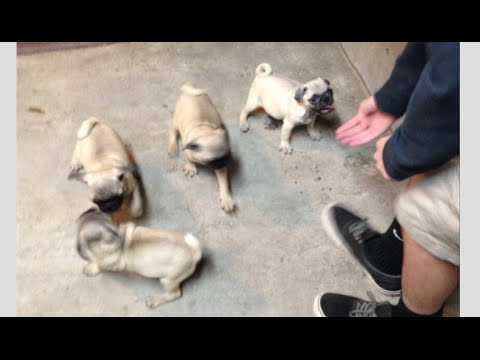Pug Meets New Kitten For The First Time Faze Rug