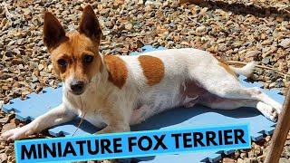 Miniature Fox Terrier  TOP 10 Interesting Facts