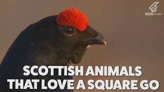 These Scottish animals are quite up for a wee scrap | Highlands - Scotland's Wild Heart thumbnail