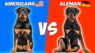 Rottweiler Americano vs Rottweiler  Aleman  VS