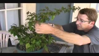 How to Fertilize Bonsai
