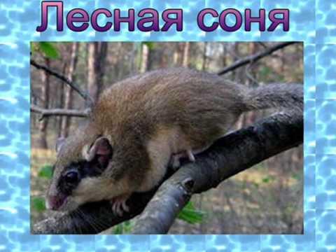 Видео Животные обитатели леса лес в жизни человека.4 класс презентация