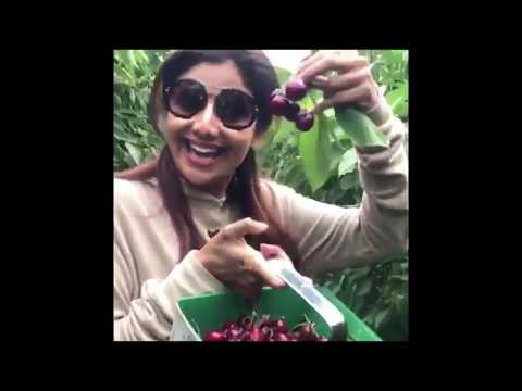 Shilpa Shetty - Cherry picking at the farm today.. Got all my fruit