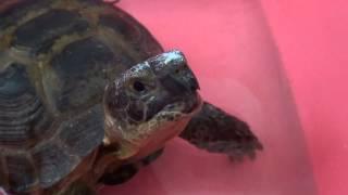 Как ухаживать за сухопутной черепахой, и как купать черепаху(Сухопутная черепаха купается. Как ухаживать за среднеазиатской черепахой! Видео про домашнюю черепаху..., 2014-01-31T16:07:16.000Z)