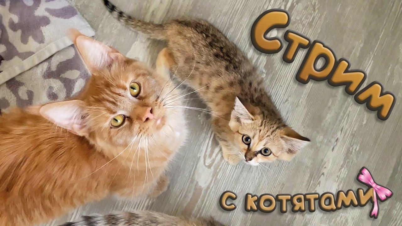 Котята мейн-куна в прямом эфире / Ответы на вопросы