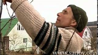 видео обрезка сливы весной схема