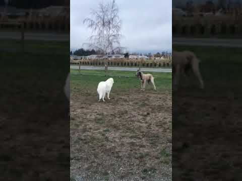 Leo the Maremma Sheepdog and Sidney the Irish Wolfhound playing at the dog park