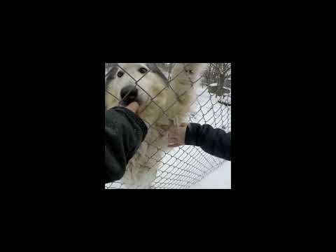 Picking up our Native American Indian Dog / Newfoundland aka St John Indian Dog