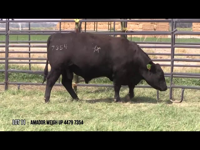 Mid Valley Bull Sale Lot 11